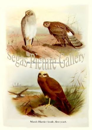 Hen-harrier & Marsh Harrier
